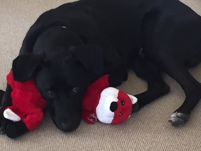 los angeles puppy